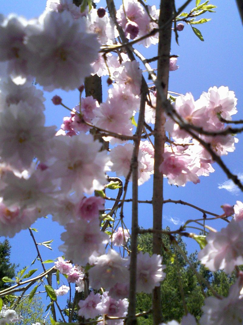 Cherry blossoms 018
